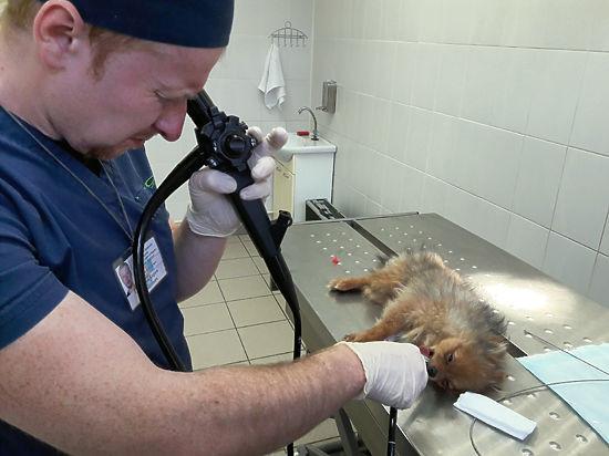 Ветеринарный врач-травматолог в Одинцово Гурганчов Карим Магомедович